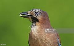 Jay (Gary Chalker, Thanks for over 3,000,000. views) Tags: jay bird corvid pentax pentaxk3ii pentaxfa600mmf4edif k3ii fa600mmf4edif fa600mm 600mm