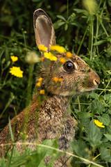 Rabbitt (siramman64) Tags: wildlife wildlifeuk sirammanpictures siramman forestfarm nature southwales