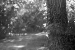 Frenchman's Forest (macromary) Tags: leicaflexsl leica leitz leicaflex slr primelens vintage camera manual film bw blackandwhite florida nature rodinal 60mm elmarit monotone palmbeachcounty naturepreserve naturetrail 60mmelmarit macrolens frenchmansforestnaturalarea palmbeachgardens naturalarea tree fomapan fomapan100 bokeh dof depthoffield leaves