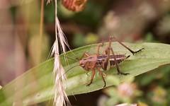 Ephippigère carénée à confirmer  - IMBF2400 (6franc6) Tags: identification insecte sauterelle occitanie languedoc gard 30 milhaud juin 2018 6franc6 vélo kalkoff vae