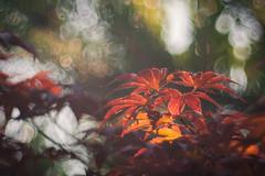 Wild Passion (ursulamller900) Tags: telemegor56180 maple ahorn red mygarden bokeh summer