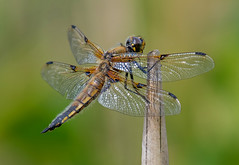 DSC2373  Four Spotted Chaser.. (jefflack Wildlife&Nature) Tags: fourspottedchaser chaser dragonflies dragonfly insects insect odonata wildlife wetlands woodlands waterways wildlifephotography countryside copse glades marshland meadows marshes jefflackphotography nature