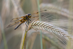 Among the fields of barley (Tim Melling) Tags: libellula quadrimaculata fourspotted chaser dragonfly south yorkshire timmelling