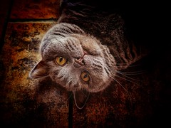 Call me Boris (J.C. Moyer) Tags: iphonese iphone chubby catportrait lovelycat whiskers digitalart animal grey blue tiles ambereyes amber eyes cute pet cat color colour britishshorthair