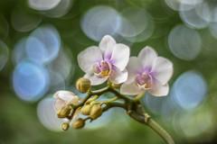 Orchidea  /  My home (Torok_Bea) Tags: phalaenopsis orchidea flower flowers nikon nikond7200 d7200 bokeh bokehflowers carlzeiss carlzeissplanar planar natur nature bokehabstrack abstrack manuallens manual beautiful bokehbliss végrevirágzik virágzik homegarden home