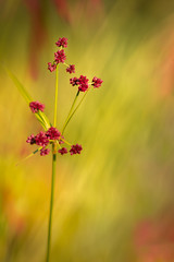 Red (Yves Gauvreau) Tags: flowers macro nature world100f