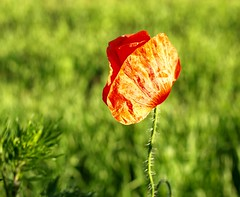 Mohn (ISOZPHOTO) Tags: mohn poppy pflanze plant bloom colourful colorful macro makro olympus zuiko e420 35mm isoz dof depthoffield natura nature natur bokeh brilliant composition gorgeous colors schärfentiefe nahaufnahme natureart naturart oly dslr spiegelreflex ft fourthirds mzuiko rouge outside closeup blossom blüte evolt red rot green grün freistellung kontrast isozphoto beautifullight 2010 colours