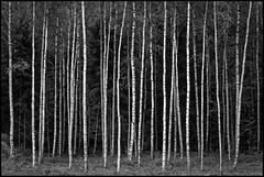 Björkskog (Jonas Thomén) Tags: brörk birch träd tree trees skog forest woods trunks stammar svartvitt blackandwhite bw monochrome monokromt sandsund vandringsled