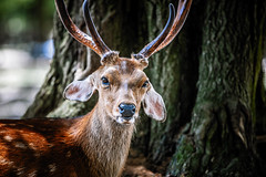 Sika Deer (moaan) Tags: nara japan jp sika deer sikadeer stag buck outdoor closeup lookingatcamera focusonforeground selectivefocus depthoffield bokeh bokehphotography canon canonphotography canoneos5dsr ef70200mmf28lisiiusm narapark utata 2018