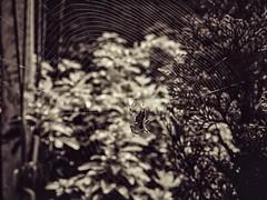 Hi (J.C. Moyer) Tags: web spidersilk macro nature trees plants leaves rustic blackandwhite arachnid insect spider lumix panasonicdmcgx80