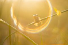 Adoring last light . ( Hyla arborea) (look to see) Tags: boomkikker hylaarborea sintmaartensheide beek bree belgium kikker frog treefrog flare bokeh vintagelens yashicayashinondx50mmf14 sunset zonsondergang goldenhour goldenlight 2018