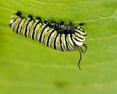 monarch (crgillette77) Tags: pennsylvania bradfordcounty caterpillar monarch danausplexippus