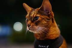 In the hot summer night (DizzieMizzieLizzie) Tags: abyssinian aby lizzie dizziemizzielizzie portrait cat feline gato gatto katt katze kot meow pisica sony neko gatos chat a6500 zeiss fe 55mm f18 za ilce6500 ilce sel55f18z sonnar 2018 bokeh hot summer night