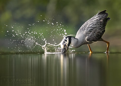 Yellow-crowned Night Heron (T L Sepkovic) Tags: yellowcrownednightheron nightheron heron wader shorebird conservepa canon 5dmkiv wildlife wildlifephotography splash action