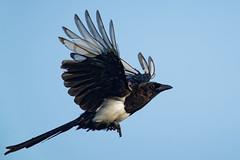 A7304071_DxO (jackez2010) Tags: ilce7m3 fe100400mmf4556gmoss bif birdinflight piebavarde