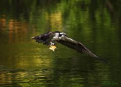 The Osprey Strikes Gold ! A Goldfish . (Swift Wings) Tags: osprey raptor animal goldfish birdinflight birdofprey bif ontario water reflections wings outdoors nature wildlife