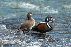Quite the pair (ChicagoBob46) Tags: harlequinduck harlequin duck yellowstone yellowstonenationalpark nature wildlife ngc coth5 npc