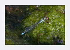 1O7A3526.jpg (kishwphotos) Tags: naturalworld wildlife dragonfly nature walpolepark parks insect attractions naturalhistory smallredeyeddamselfly geology