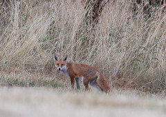 Red Fox Vulpes vulpes 001-1 (cwoodend..........Thanks) Tags: wildlife warwickshire warwickshirewildlife 2018 fox redfox vulpesvulpes