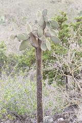 Tree Prickly-Pear - Opuntia echios var. gigantea - Isla Santa Cruz, Galapagos, Ecuador - July 3, 2018 (mango verde) Tags: opuntiaechiosvargigantea cactaceae opuntia echios cactus pricklypear gigantea opuntiaechios caminoalasgrietas islasantacruz galapagos ecuador mangoverde treepricklypear