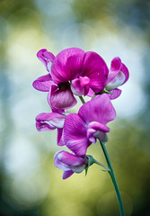 Beautiful Vignetted Sweet Pea (http://fineartamerica.com/profiles/robert-bales.ht) Tags: emmett forupload haybales idaho people photo places plants projects states sweetpea blossom stem beautiful sweet flora white isolated color flower natural petal light bloom pea nature flowers pink spring semitransparent blooming floral organic perennial bulb beauty lathyrusodoratus pinstripes peas plant wild annual fragrant leaves lathyrus leguminosae pastel robertbales vignette closeup macro purple waterdrop