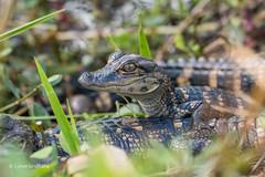 Baby Alligator 500_8260.jpg (Mobile Lynn) Tags: reptiles nature alligator fauna reptile wildlife miami florida unitedstates us