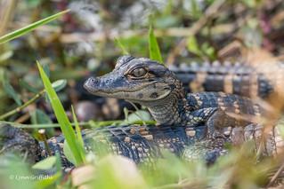 Baby Alligator 500_8260.jpg