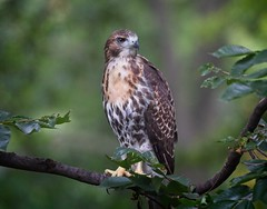 Tompkins hawk fledgling A2 (Goggla) Tags: fledgling a2 nyc new york manhattan east village tompkins square park urban wildlife bird raptor red tail hawk 2 goglog explore