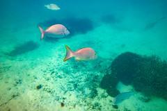 Heron Island Snorkel Underwater-1 (Quick Shot Photos) Tags: aquatechimagingsolutions canon canoncollective heronisland padi queensland scuba underwater snorkel bogie australia au
