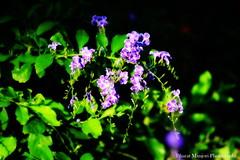 Beautiful flowers (Bharat Manjori) Tags: flowers canon canonphotography flowerphotography naturephotography nature beautifulnature beautifulflower flower garden