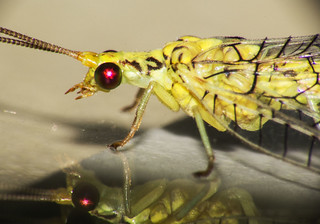 Lacewing on glass