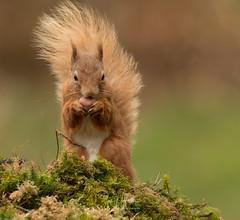 Red Squirrel (Ian howells wildlife photography) Tags: redsquirrel ianhowells ianhowellswildlifephotography wildlife wildlifephotography nature nationalgeographic naturephotography unitedkingdom wild springwatch squirrel