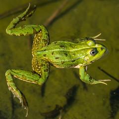 frog 2 (Thomas Meier-Löpfe) Tags: frosch konstanz sealife ese8474 nikond4 thomasmeierlöpfe