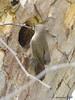 Doh! (pandatub) Tags: bird birds wren housewren garin