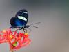 Borboleta-sara (Heliconius sara apseudes) Sara longwing (Eden Fontes) Tags: jardimbotânico borboletasemariposas borboletasara saralongwing invertebrados heliconiussaraapseudes jb rj jbrj butterfliesandmoths riodejaneiro