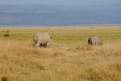 Белый носорог, Ceratotherium simum, White Rhinoceros (Oleg Nomad) Tags: белыйносорог ceratotheriumsimum whiterhinoceros африка накуру кения сафари животные природа africa kenya nakuru safari nature animals travel