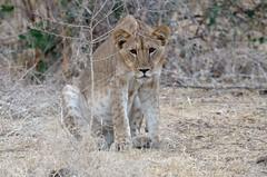 Young African Lion, jeune lion (Panthera leo) - Zakouma National Park, CHAD (brun@x - Africa: birds & more) Tags: 2018 bruno portier brunoportier tchad chad zakouma national park zakoumanationalpark lion panthera lio pantheralio mammifères carnivores félidés carnivora felidae