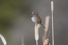 Song Sparrow (featherweight2009) Tags: songsparrow melospizamelodia sparrows songbirds birds