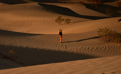 Dune, Finished... (Harald Philipp) Tags: outdoors rural landscape desert dry outback natural deserted hills scenic heat hot holiday vacation tourism tourist exotic terrain destination travel adventure beautiful romantic mysterious d810 nikkor nikon california road windingroad dunes sand shadows longshadows sunrise tripod woman flowingdress walking footprints bushes deathvalley mesquiteflat stovepipewells sanddune unitedstates usa park nationalpark goldenhour sagebrush