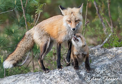 Mom is my superhero (Anne Marie Fraser) Tags: superhero mom fox redfox redfoxkit kit family love wildlife nature animal mammal rock forest
