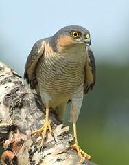 sparrowhawk (garethhardwick72) Tags: sparrowhawk