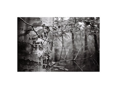 12. Letters and twigs (kotmariusz) Tags: letters twigs tree suburbs świdnica nature monochrome monochrom monochromatic monochromatyczny blackandwhite bw analog 35mm film filmphotography 35mmphotography