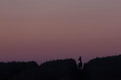 In der Spur (IIIfbIII) Tags: reh deer animal animalphoto wildlifephotography wild wildlife feld silhouettes sunlight sun sonnenuntergang mv mecklenburgvorpommern mecklenburg mammals nacht night sommer summer tierfotografie