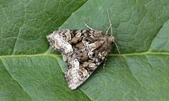3852 Oligia strigilis (jon. moore) Tags: prioryfields warwickshire lepidoptera marbledminor oligiastrigilis