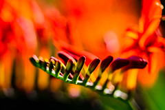The Flames of Lucifer (I'll be back mid-Sept) Tags: crocosmialucifer red fiery hot flower buds