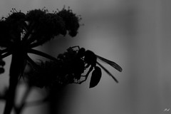 The newest buzzzz..... (piroskaacai) Tags: nature buggs flower black white bloom skancheli