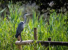 Grey Heron 14-07-2018-1605 (seandarcy2) Tags: heron grey rspb ham wall birds wildlife reedbed somerset levels uk