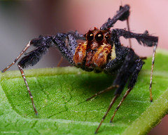 20180705 - 28  Jumping spiders of genus Portia eat other spiders; they are capable of learning. This one is contemplating the enormity of it all. Circa 7mm. (Henry Aldridge) Tags: arthropods singapore henryaldridge arachnids araneae spiders salticidae jumpingspiders portiasp