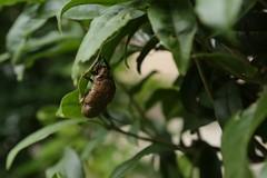 180720003 (murbozero) Tags: murbo japan cicada
