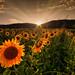 Girasoli (Alessandro Andrioli) Tags: fiorigirasolitramontocolli bericivicenza
